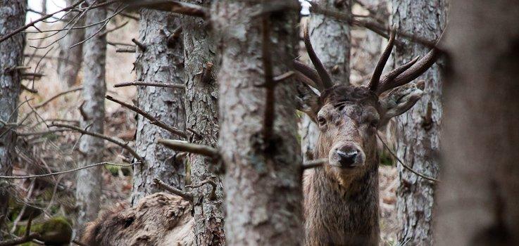 cervo foreste casentinesi