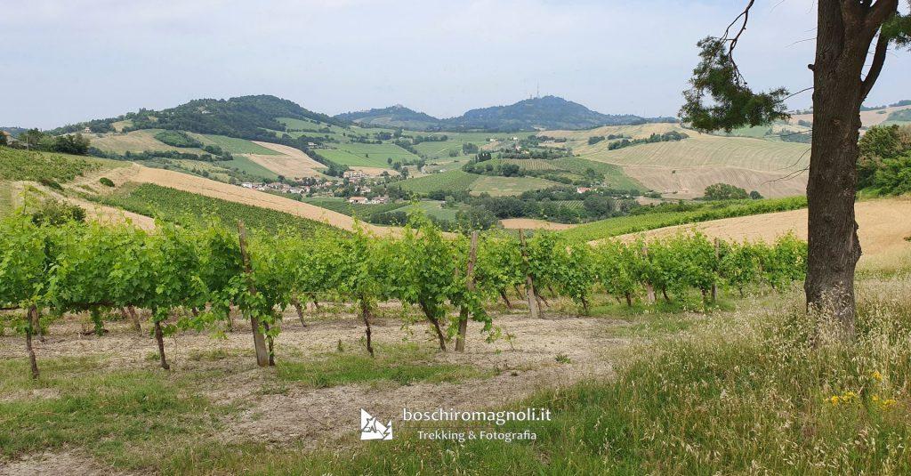 vigne bertinoro monte maggio